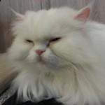 Beautiful white cat relaxing